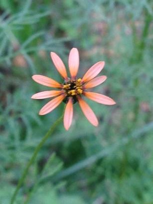 Unidentified apricot daisy