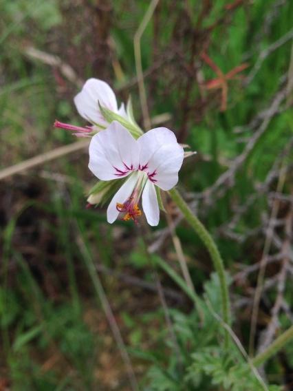 Perlargonium myrrhifolium var. myrrhifolium