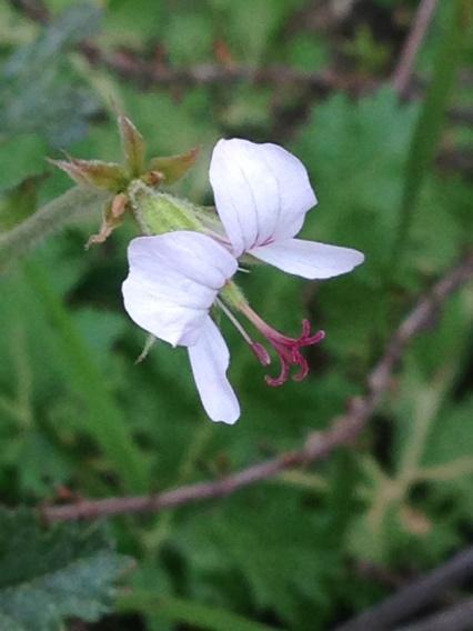 Pelargonium myrrhifolium var myrrhifolium
