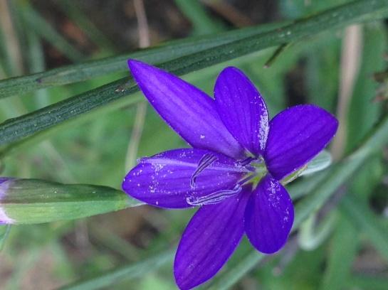 Geissorhiza aspera