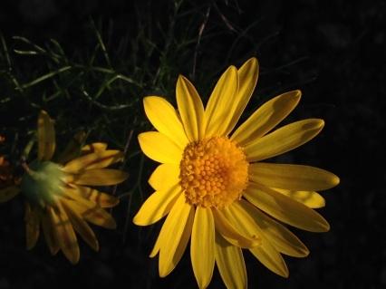 Ursinia anthemoides in flower