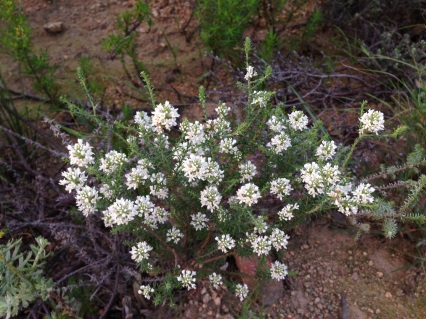 Agathomsa - wild buchu
