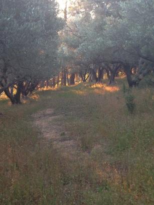 Spring light in the olive groves