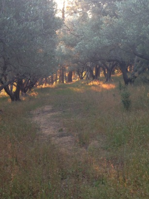 Spring light in the olive groves