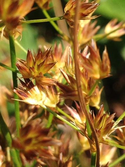 Willdenovia incurvata
