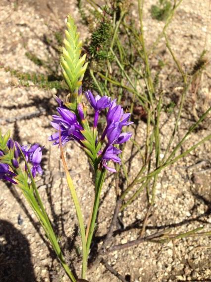 Micranthus alopecuroides