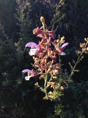 Salvia africana