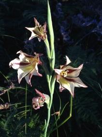 Gladiolus liliaceus