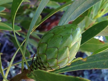 Budding Protea repens