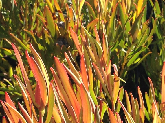 New growth of the Leucadendron salignum