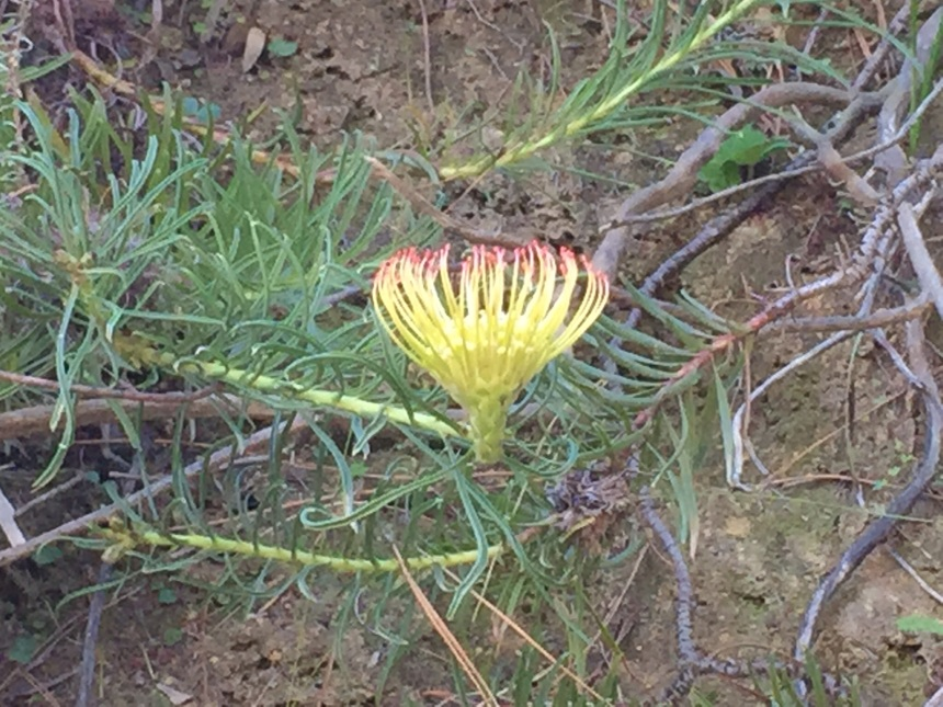 "Leucospermum lineare ""The Vulnerable"""