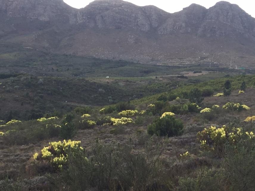 Leucospermum salignum glows on the mountain in the dim winter dawn