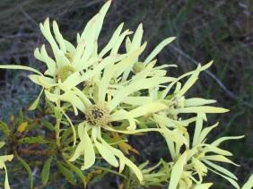 Leucospermum salignum, female flowers