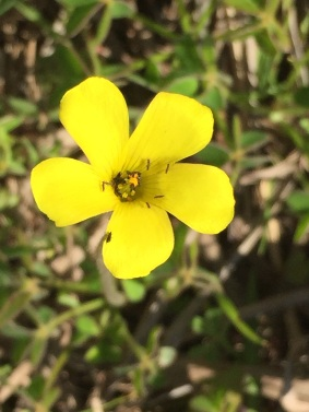 Oxalis per-caprae - note the tiny insects enjoying the pollen