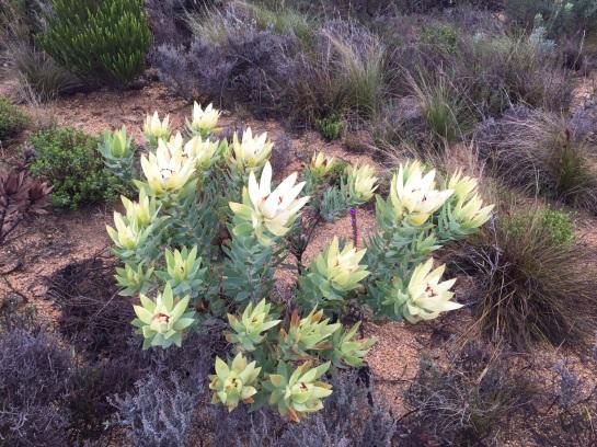Leucodendron tincta