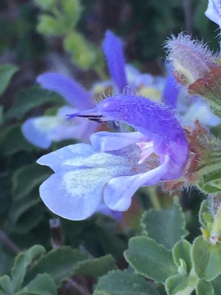 Savlia africana-caerulea