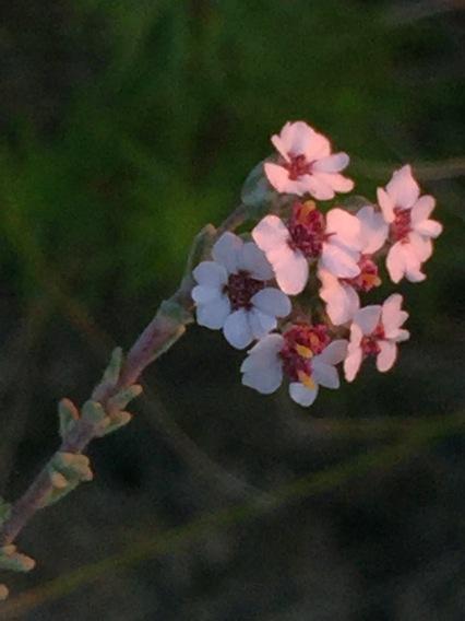 Wild rosemary