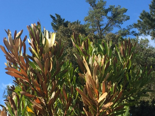 Protea repens on the drive, a flower almost hidden behind the singed leaves