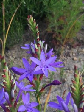 Thereianthus spicatus
