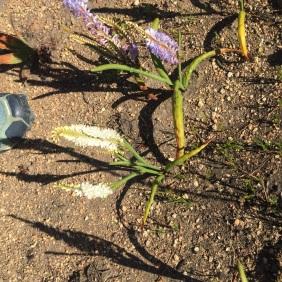 A rare white Micranthus junceus