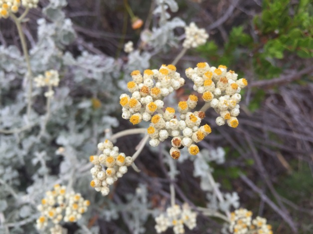 Helichrysum patulum