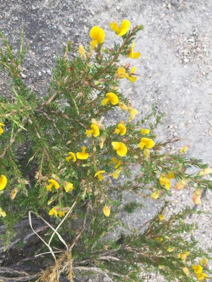 Aspalanthus abietina