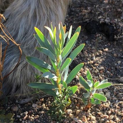 Baby Protea repens