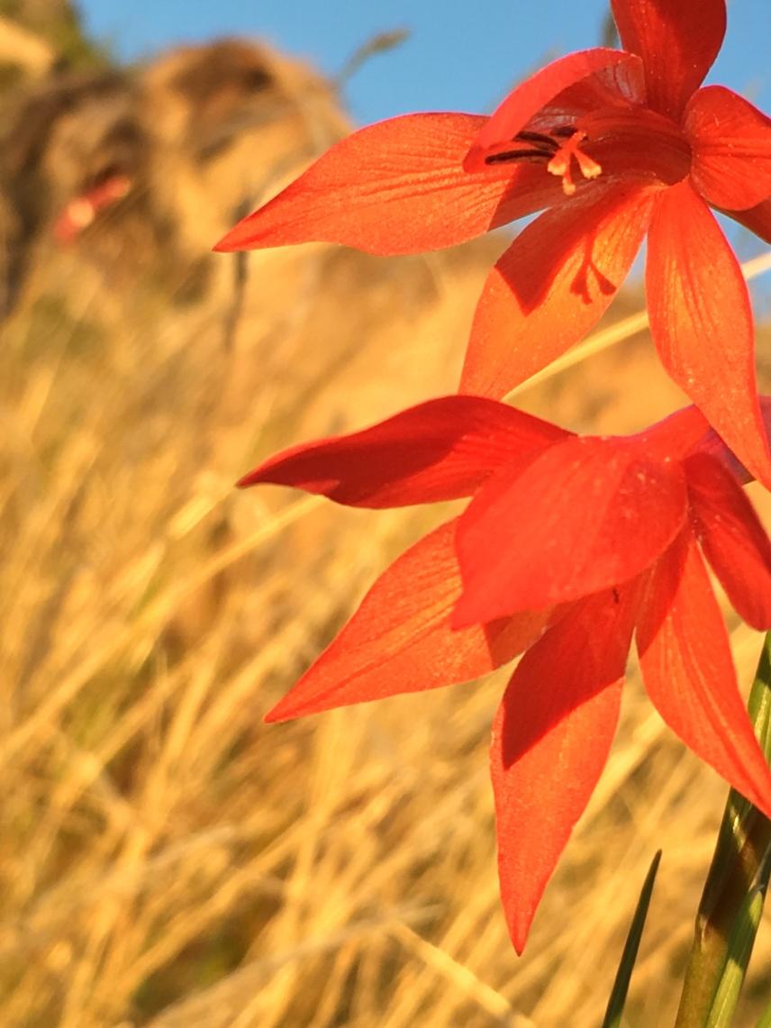 Gladiolus watsonius
