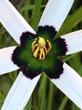 Spiloxene capensis